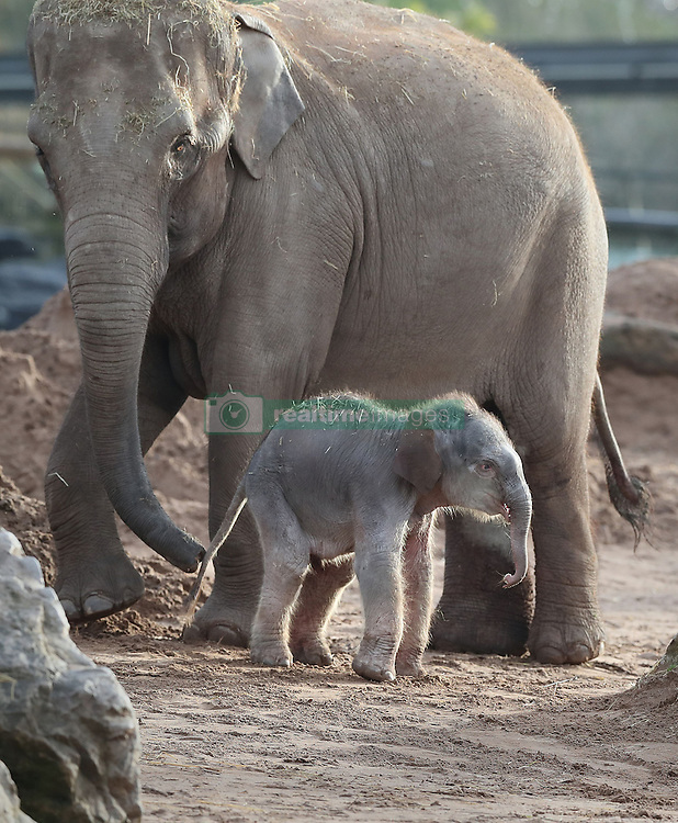 A female Asian elephant calf, as yet unnamed, which was born at Chester Zoo last night with her mother Sundara.