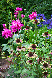 Dahlia 'Sugar Diamond' with Echinacea 'Green Envy'
