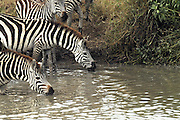 Africa, Tanzania, Serengeti National Park Herd of Zebras at the watering pool