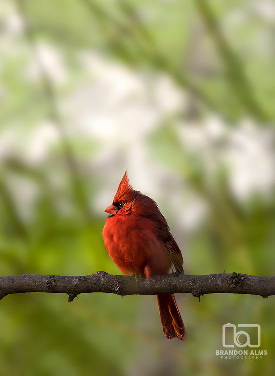 A closeup shot of a male cardinal bird. Photo by Brandon Alms Photography