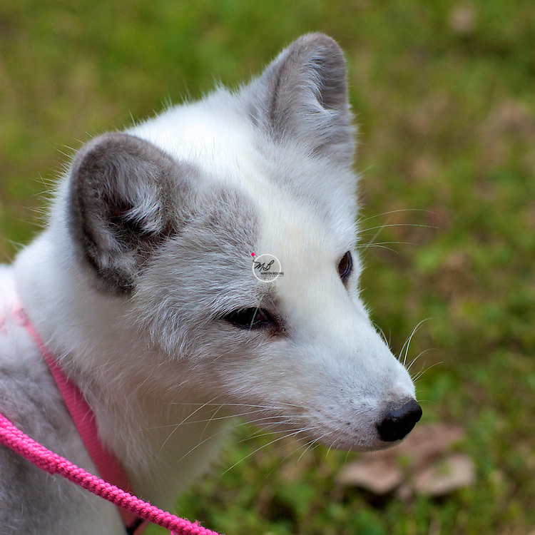 White, Artic Fox, domestic, coller