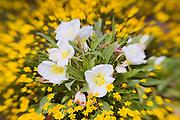 Evening Primrose (Oenothera californica) and Goldfields (Lasthenia californica) along Shell Creek, San Luis Obispo County, California