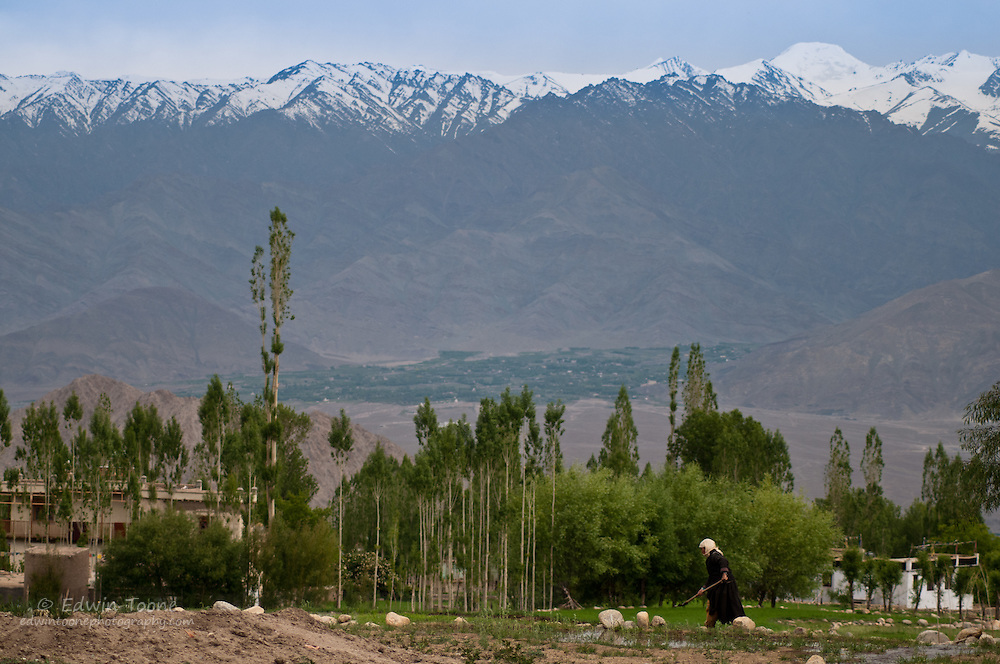 In the high arid dessert of Ladakh the grow season is very short and a lot of work must be done to insure that there is sufficient food for the long hard winter.