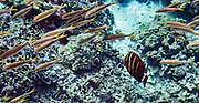 """A single sailfin tang (Zebrasoma veliferum) swims with a school of other fish. We kayaked on a Kona Boys tour to the Captain Cook Monument in Kealakekua Bay State Historical Park starting from Napoopoo Pier, on the Kona Coast of the Big Island, Hawaii, USA. With one of the most pristine coral reefs for snorkeling in the state, Kealakekua Bay is protected as a State Marine Life Conservation District (MLCD). British Captain James Cook was the first European to reach the Hawaiian islands (in January 1778 at Waimea harbour on Kauai), and he named the archipelago the """"Sandwich Islands."""" During his second voyage to the Hawaiian Islands, Captain Cook arrived at Kealakekua Bay in 1779. Thought by the natives to be a god, due to his arrival during a celebration and time of peace for Lono, Cook was treated royally. But the following month he was killed in a skirmish on the shores of Ka'awaloa Cove following a series of incidents between his crew and the Hawaiians. In 1874, the 27-foot monument was erected nearby in Cook's honor by his countrymen. On the lava flats behind Cook Monument are the ruins of the ancient village of Ka'awaloa."""