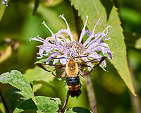 Snowberry Clearwing Moth Hemaris diffinis). Image taken with a Fuji X-T2 camera and 100-400 mm OIS lens
