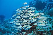 yellowspot, goldspot, or gold-lined emperors, Gnathodentex aurolineatus, German Channel, Palau ( Belau ), Micronesia ( Western Pacific Ocean )