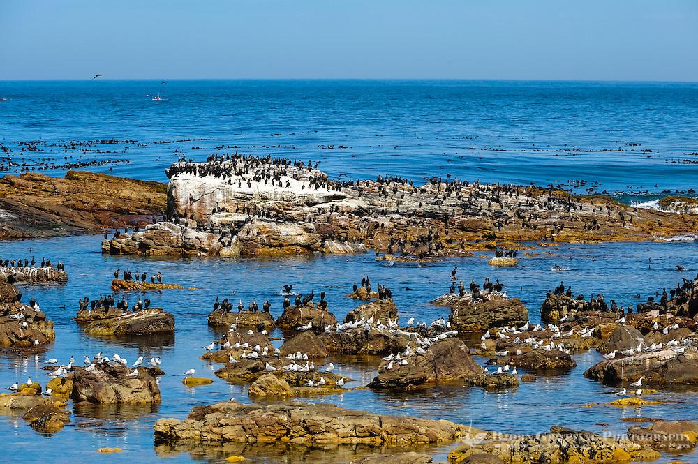 The Cape of Good Hope  on the Atlantic coast of Cape Peninsula, South Africa. A colony of Cormorants.
