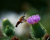 Hummingbird Clearwing Moth feeding on on Thistle flowers. Image taken with a Nikon D4 camera and 300 mm f/4 lens (ISO 100, 300 mm, f/9, 1/320 sec).