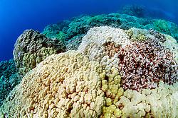 colonies of lobe coral, Porites lobata, .and finger coral, Porites compressa, .Honaunau Bay, Big Island, Hawaii (Pacific)