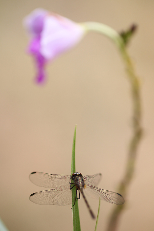 Nova Lima_MG, Brazil.<br /> <br /> Estacao Ecologica de Fechos, localizada no municipio mineiro de Nova Lima, Minas Gerais. Na foto Libelula<br /> <br /> Fechos Ecological Station in Nova Lima, Minas Gerais. In this photo dragon fly.<br /> <br /> Foto: JOAO MARCOS ROSA / NITRO