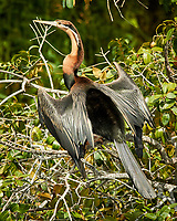 African Darter. Chobe river, Botswana. Image taken with a Nikon 1 V3 camera and  70-300 mm VR lens.