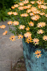 Osteospermum ? in a copper container in the Cottage Garden at Sissinghurst Castle