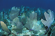 sea fans, Gorgonia ventalina, (soft corals) on shallow reef, Biscayne National Park,  Florida ( Atlantic )