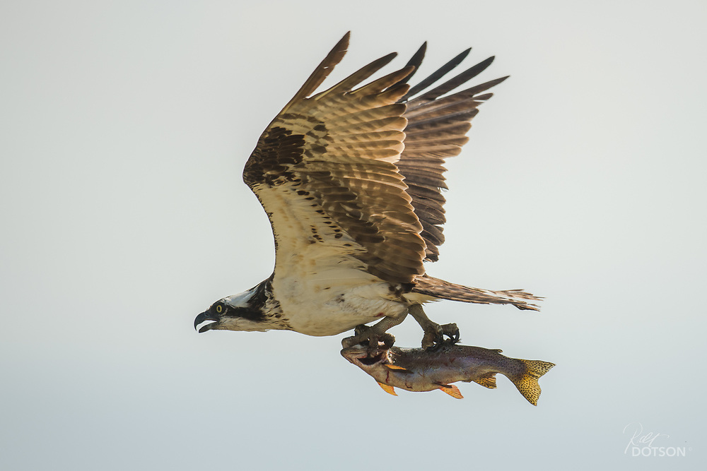 Female osprey takes a 14 inch rainbow into her newly hatched young.