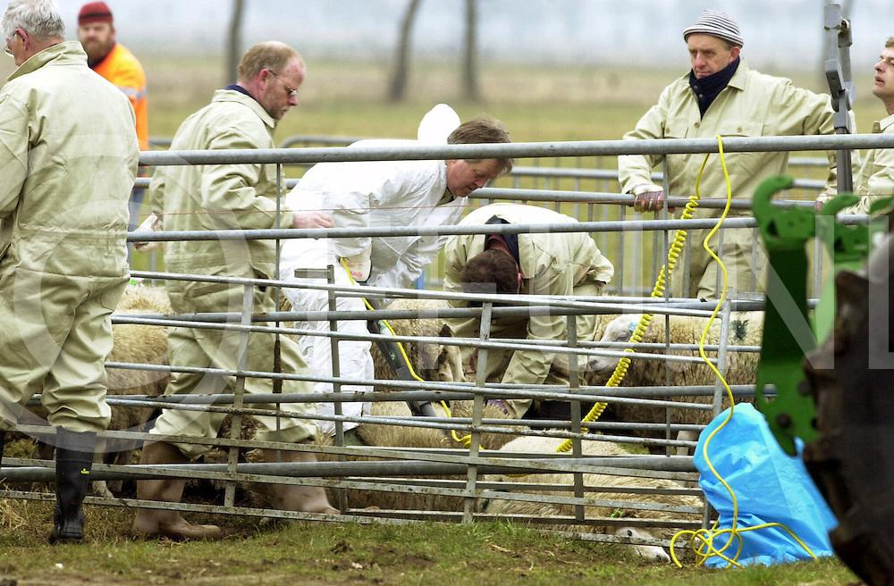 fotografie frank uijlenbroek©2000 frank uijlenbroek.010303 nieuwleusen ned.Op drie plaatsen zijn zaterdag 3 maart preventieve ruimingen uitgevoerd in Salland. Van eigenaar Melenhorst uit Heino werden ca. 900 schapen gedood en afgevoerd in Heino, Liederholthuis en Nieuwleusen(foto)aan het Westeinde. De schapen zijn volgens onbevestigde berichten van boeren die bij de ruiming stonden afgelopen week uit Engeland aangevoerd en stonden te wachten op de Ramadan voor de rituele slachting..De schapen zijn vrijdag alle getaxeerd..op foto de bijeengedreven schapen worden met een elektroschok gedood.