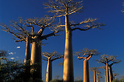 The Avenue of the Baobabs, or Alley of the Baobabs, is a prominent group of Grandidier's baobabs lining the dirt road between Morondava and Belon'i Tsiribihina in the Menabe region of western Madagascar