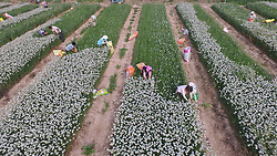 September 4, 2017 - Binzhou, Binzhou, China - Binzhou, CHINA-4th September 2017: (EDITORIAL USE ONLY. CHINA OUT) ..The Chinese chives fields look like keyboard of piano from the aerial view in Binzhou, east China's Shandong Province, September 4th, 2017. (Credit Image: © SIPA Asia via ZUMA Wire)