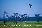 Hot Air Balloon above grazing sheep, Bedfordshire, UK.