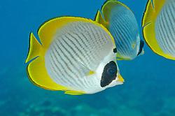 Chaetodon adiergastos, Panda Falterfisch, Philippine butterflyfish, Panda Butterflyfish, Tulamben, Bali, Indonesien, Indopazifik, Indonesia, Asien, Indo-Pacific Ocean, Asia