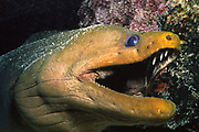 Green Moray Eel with mouth open showing teeth.(Gymnothorax funebris).Cayman Islands