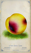 Large Early York [Duke of York] Peach Cultivar from Dewey's Pocket Series ' The nurseryman's pocket specimen book : colored from nature : fruits, flowers, ornamental trees, shrubs, roses, &c by Dewey, D. M. (Dellon Marcus), 1819-1889, publisher; Mason, S.F Published in Rochester, NY by D.M. Dewey in 1872