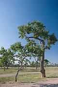 Cottonwood trees seem to dance