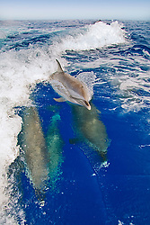 Pantropical Spotted Dolphins, Stenella attenuata, riding boat wakes, and calf spouting, off Kona Coast, Big Island, Hawaii, Pacific Ocean