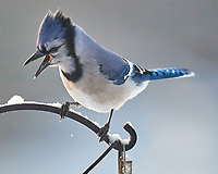 Blue Jay (Cyanocitta cristata). Image taken with a Nikon D5 camera and 600 mm f/4 VR lens