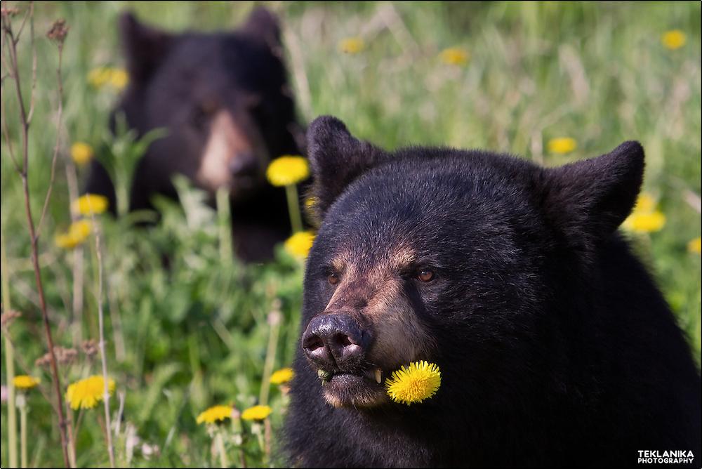 Two black bears enjoying a meal of dandelions in Chugach State Park near Anchorage, Alaska.