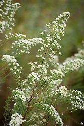 Aster ericoides 'Vimmer's Delight' syn. Symphyotrichum ericoides 'Vimmer's Delight'