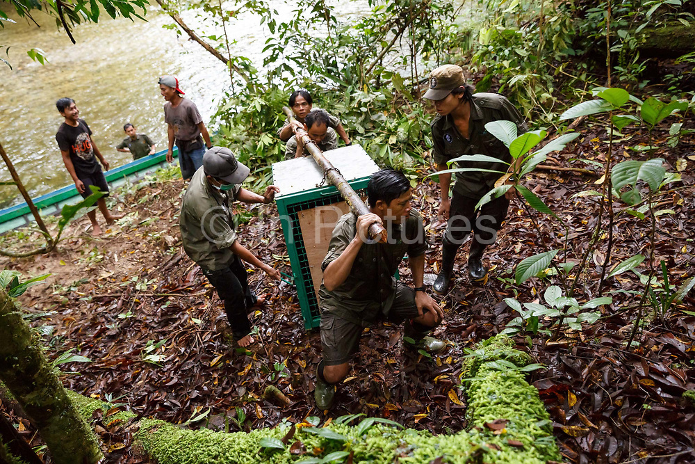 Kato - a large male orang-utan - is carried in a cage from a small boat from the River Bemban to his release site in Bukit Baka Bukit Raya National Park in Central Kalimantan, Borneo, Indonesia on 23rd May 2017.  Kato, and 5 female orang-utans, have come from Nyaru Menteng Rehabilitation Centre, run by the Borneo Orangutan Survival Foundation to be released back into the wild. Kato was rescued in 2003 after being kept illegally as a pet. He has undergone a long rehabiliation process that included living on a pre-release island where orang-utans learn how to survive in the wild.