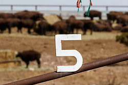 Bison in pen 5 during bison roundup, Ladder Ranch, west of Truth or Consequences, New Mexico, USA.