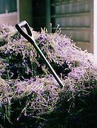 A spade in a pile of harvested lavendar, England, UK