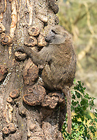 A male Olive Baboon, Papio anubis, climbs a tree trunk in Ngorongoro Crater, Ngorongoro Conservation Area, Tanzania
