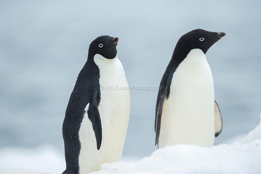 Adelie Penguins (Pygoscelis adeliae) in Antarctica