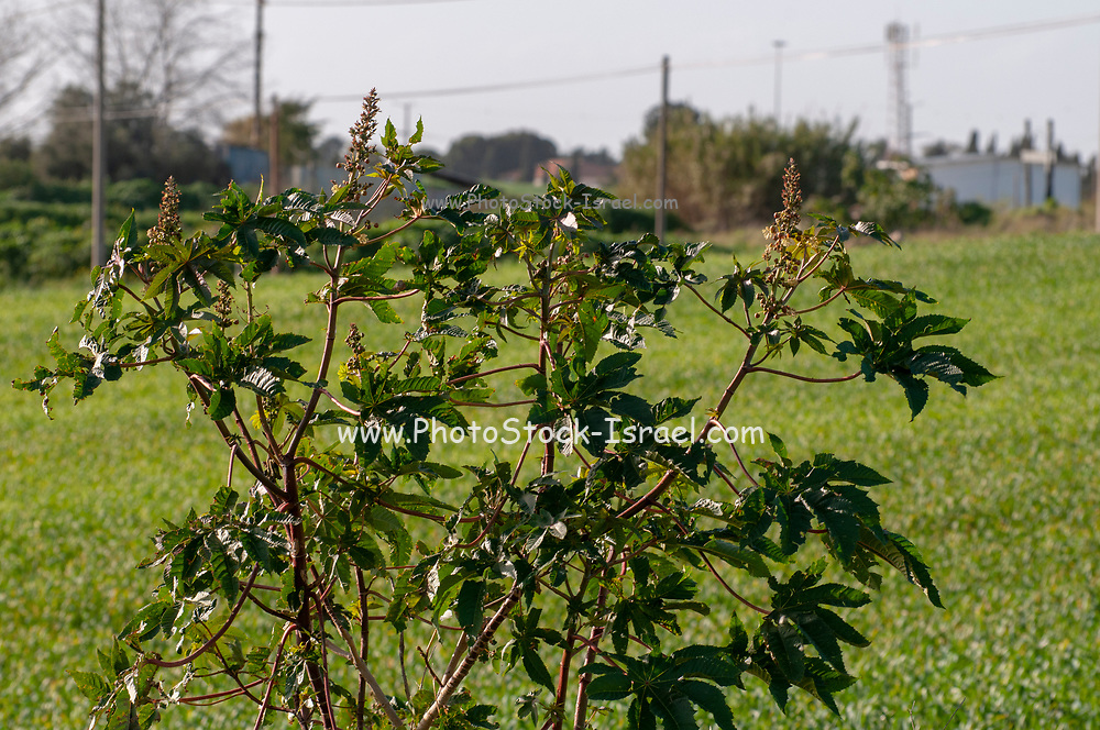 castor oil plant, Ricinus communis AKA mole bean. Photographed in Israel in January