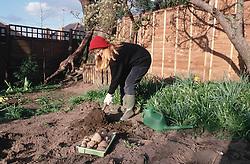 Woman working in garden planting potatoes,