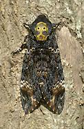 Death's Head Hawkmoth - Acherontia atropos