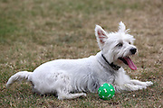 MacDuff the year-old Westie (West Highland White Terrier) with a green ball.