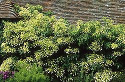 Schizophragma integrifolium