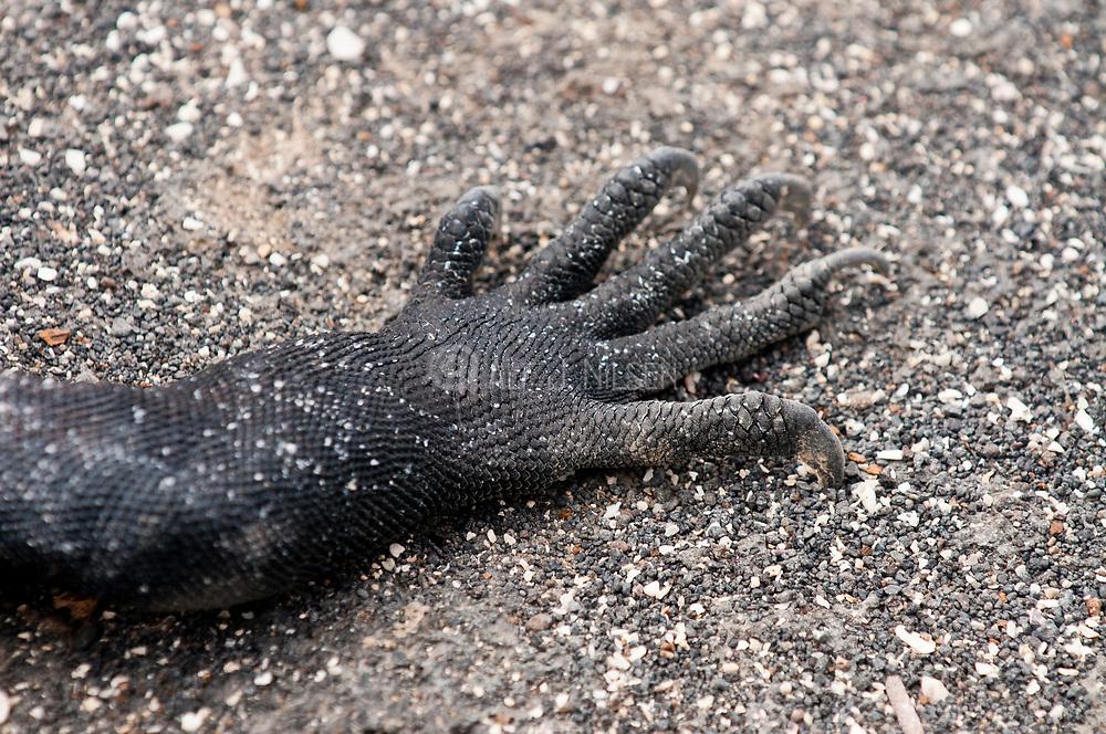 Limb of a marine Iguana (Amblyrhynchus cristatus) from Punta Espinoza, Fernandina, Galapagos Islands.