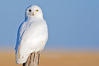 A snowy owl on the prairies.