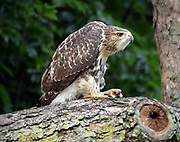 The red-tailed hawk (Buteo jamaicensis) in Central Park, NYC.