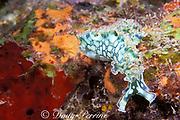 lettuce-back sea slug, Elysia crispata,<br /> crawls across reef,<br /> St. Kitts ( Eastern Caribbean Sea )