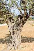 Israel Galilee Olive tree close up