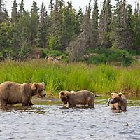 USA, Alaska, Katmai. Grizzly sow teaching young cubs.