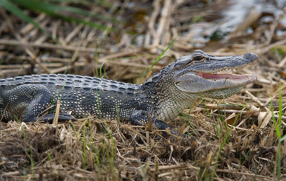 An alligator sits in the marsh grass near the walkway of the Sabine National Wildlife Refuge south of Hackberry, Louisiana.