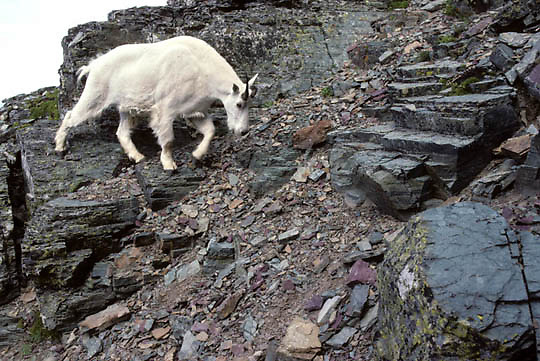 Mountain Goat, (Oreamnos americanus) Billy descending down from rocky Mount Clements. Summer. Glacier National Park. Montana.