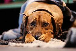 © Licensed to London News Pictures. 09/03/2017. Birmingham, UK. One dog already appeared fed up with all the commotion at the 126th annual Crufts dog show at the NEC in Birmingham, West Midlands. The show is organised by the Kennel Club and is the biggest of it's kind in the world.  Photo credit : Ian Hinchliffe/LNP