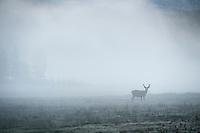 Deer in Fog at dawn in Tuolumne meadows, Yosemite national park, California, USA